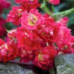 Розы Нейче Меилландекор