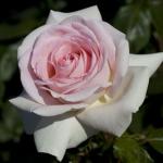 Розы Принц Жардениер