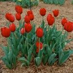 Тюльпаны Кингсблад