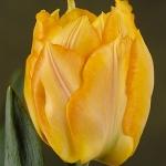 Тюльпаны Марехал Нил