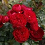 Розы Роткаппчен