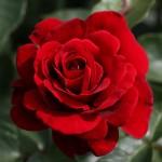 Розы Джазз