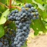 Виноград Денисовский
