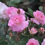 Розы Гала Чарльз Азнавур