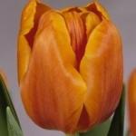 Тюльпаны Пако