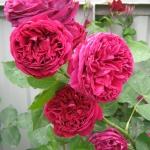 Розы Фалстафф