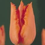 Тюльпаны Дирхам Парк