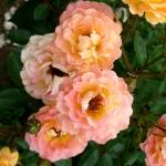 Розы Бесси