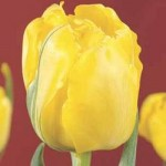 Тюльпаны Труе энд Фэир
