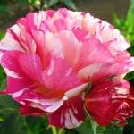 Розы Маурис Утрилло