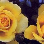 Розы Эспешелли фор Ю