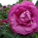 Розы Уайлд Эдрик