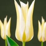 Тюльпаны Макарена