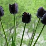 Тюльпаны Пол Шерер