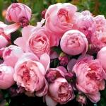 Розы Дамес де Ченонцеау