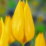 Тюльпаны Франекер