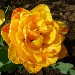 Тюльпаны Дабл Бьюти оф Апельдорн