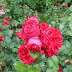 Розы Роял Шоу
