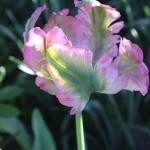 Тюльпаны Грин Уэйв