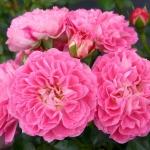 Розы Шармант