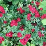Розы Ред Каскад