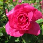 Розы Феликс Леклерк