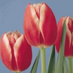 Тюльпаны Лаки Леди