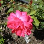 Розы Роди