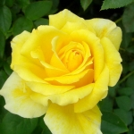 Розы Дуфтголд