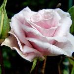 Розы Ирен ав Денмарк