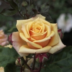 Розы Голден Тауэр