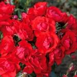 Розы Андалюсьен