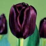 Тюльпаны Блэк Джэк