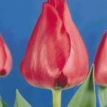 Тюльпаны Спрайнг