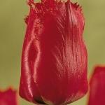 Тюльпаны Мантелз Дрим