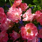 Розы Фуксия Меилландекор