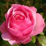 Розы Крепдешин
