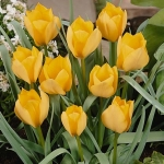Тюльпаны Эприкот Джевел