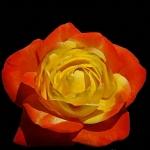 Розы Джуди Гарленд