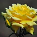 Розы Перло
