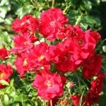 Розы Матадор