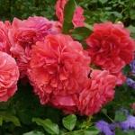 Розы Розариум Уетерсен