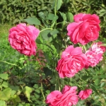 Розы Сир Джон Бетжеман
