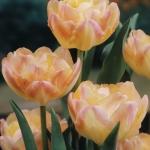 Тюльпаны Крем Апстар