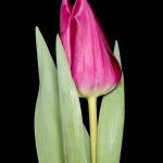 Тюльпаны Леди Рики