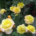 Розы Канары