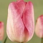 Тюльпаны Гандерс Рапсоди
