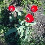 Тюльпаны Авеню