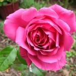 Розы Сент Экзюпери