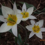 Тюльпаны Туркестан